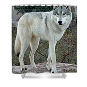 Out Of Africa Wolf  Shower Curtain
