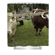 Oxen Shower Curtain