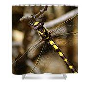 Pacific Spiketail Dragonfly On Mt Tamalpais 2 Shower Curtain