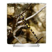 Pacific Spiketail Dragonfly On Mt Tamalpais Shower Curtain