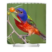 Painted Bunting Eating Granjeno Berry Shower Curtain