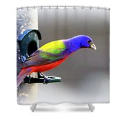 Painted Bunting - Img 9755-004 Shower Curtain