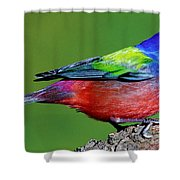 Painted Bunting Passerina Ciris Shower Curtain