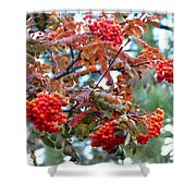 Painted Mountain Ash Berries Shower Curtain