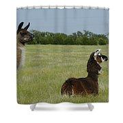 Pair Of Alpacas Shower Curtain