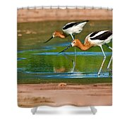 Pair Of American Avocets Shower Curtain