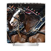 Pair Of Budweiser Clydesdale Horses In Harness Usa Rodeo Shower Curtain
