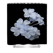 Pale Blue Plumbago Isolated On Black Background  Shower Curtain