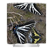 Pale Swallowtails And Western Tiger Swallowtail Butterflies Shower Curtain