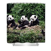 Pandas In China Shower Curtain