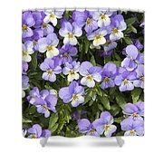 Pansy Flowers In Spring Background Shower Curtain