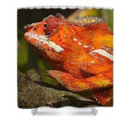 panther chameleon from Madagascar 3 Shower Curtain