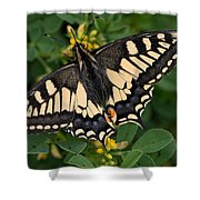 Papilio Machaon Butterfly Sitting On The Lucerne Plant Shower Curtain