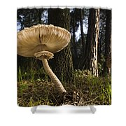 Parasol Mushrooms Pair In Forest Spain Shower Curtain