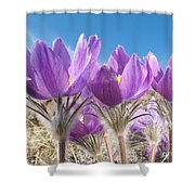 Pasque Flowers Close-up In Natural Environment Shower Curtain