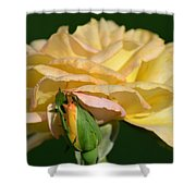 Pastel Rose Ruffles Shower Curtain