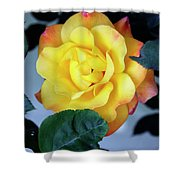 Peace Rose Palm Springs Shower Curtain