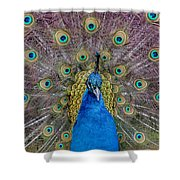 Peacock And Proud Plumage Shower Curtain