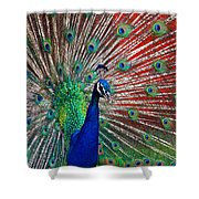 Peacock And Red Barn Shower Curtain