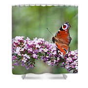 Peacock Butterfly  Inachis Io  On Buddleia Shower Curtain