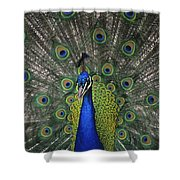 Peacock In Open Feathers, Victoria, Bc Shower Curtain