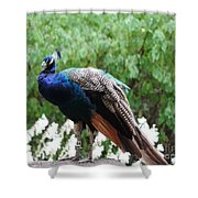 Peacock On A Rock 1 Shower Curtain