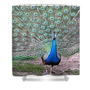 Peacock On Display Shower Curtain