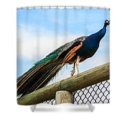 Peacock On Fence 1 Shower Curtain