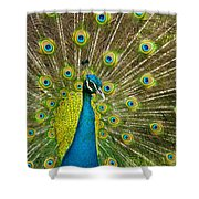 Peacock Pride Shower Curtain