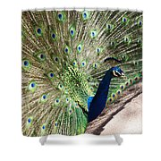 Peacock Show Shower Curtain