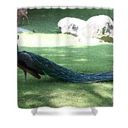 Peacock Strutting His Stuff Shower Curtain