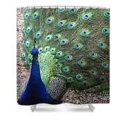 Peacock Up Close Shower Curtain