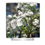 Pear Tree In Bloom Shower Curtain