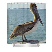 Pelican At The Gulf Shower Curtain