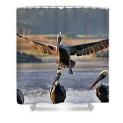 Pelican Coming In For Landing Shower Curtain by Dan Friend