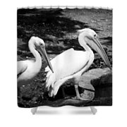 Pelicans - Bw Shower Curtain