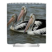 Pelicans In Australia 3 Shower Curtain