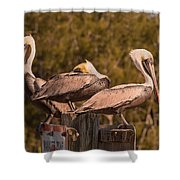Pelicans On Watch Shower Curtain