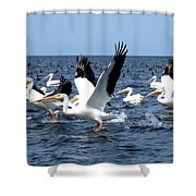 Pelicans Taking Flight Shower Curtain