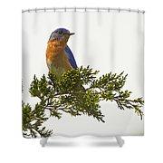 Perched Eastern Bluebird Shower Curtain
