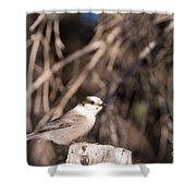 Perched Grey Jay Perisoreus Canadensis Watching Shower Curtain