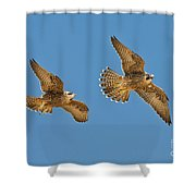 Peregrine Siblings Chasing Each Other Shower Curtain