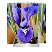 Petite Dutch Irises Shower Curtain