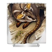 Petrogale Xanthopus      Ch 991244 Shower Curtain by English School
