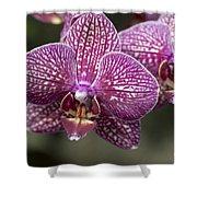 Phalaenopsis Helen Alice Mary 2220 Shower Curtain