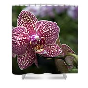 Phalaenopsis Helen Alice Mary 2308 Shower Curtain