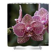 Phalaenopsis Helen Alice Mary 2346 Shower Curtain