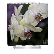 Phalaenopsis Ming Chao Dancer   8585 Shower Curtain