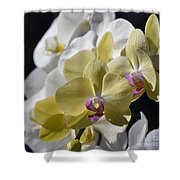 Phalaenopsis Orchids 2777 Shower Curtain