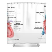 Pig And Human Heart Illustrations  Shower Curtain
